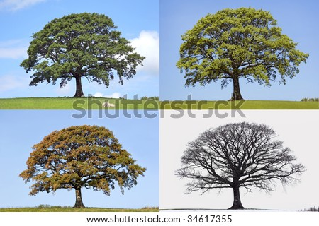 Oak tree time lapse in the four seasons of spring, summer, fall and winter in rural countryside all set against a blue sky. - stock photo