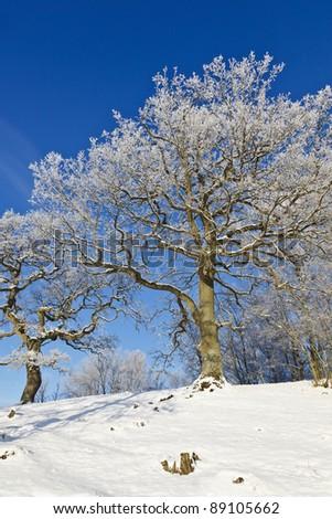 Oak tree with frost in winter landscape - stock photo