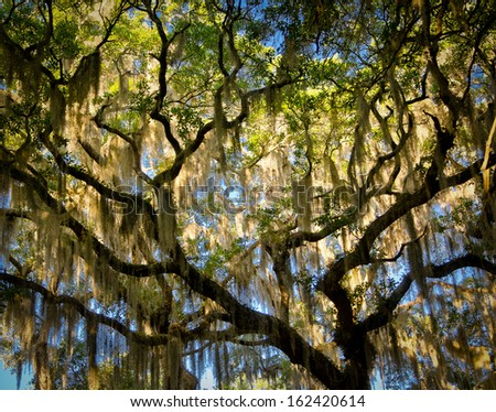 stock-photo-oak-tree-with-spanish-moss-162420614 Botany Bay Plantation House on sims family plantation, deerpond plantation, bay tree plantation, sea cloud plantation, manigault plantation, botany wildlife, camden plantation, hilton head plantation, selma plantation, wilson plantation, boyd family plantation, bleak hall plantation, cainhoy plantation, washington plantation, southern woods plantation, golden era plantation, stately oaks plantation, albany plantation, auburn plantation, chennault plantation,