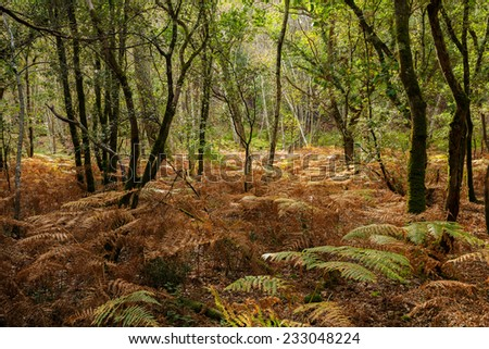 Oak trees and ferns at fall season in a temperate climate forest - stock photo