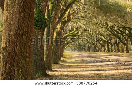 Oak trees/Picturesque/A long line of large oak trees with Spanish moss line a dirt road on a sunny day in Georgia.  - stock photo