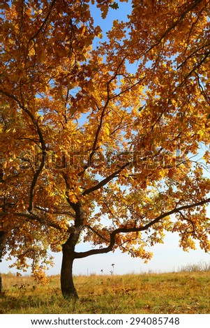 oak with yellow leaves at autumn - stock photo