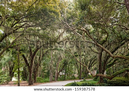 Oaks draped in Spanish Moss - stock photo