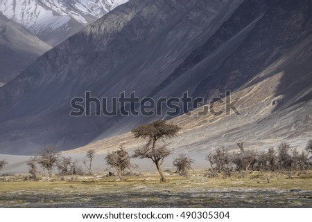 Oasis in Desert at Nubra Valley in Leh Ladakh , India