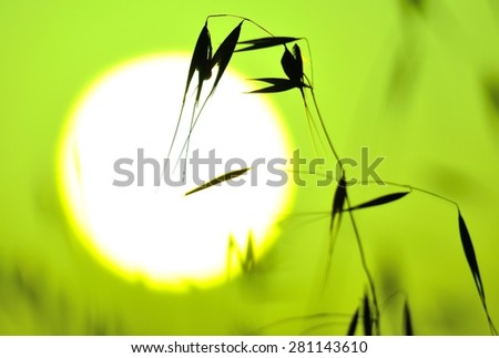 Oat twig and great morning sun, colored image - stock photo