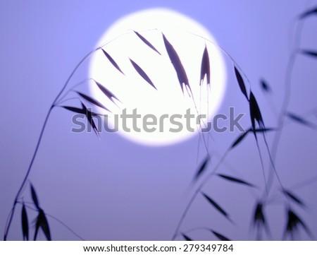 Oat twig at sunrise, colored image - stock photo