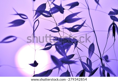 Oat twigs with color effects and lighting at sunrise - stock photo