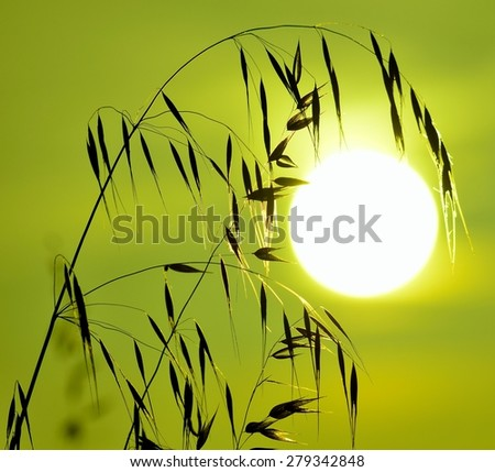 Oat twigs with greenish color effect at sunrise - stock photo