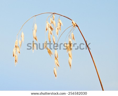 Oats against blue sky - stock photo