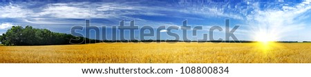 Oats field and sun. - stock photo