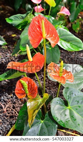 obake anthurium flower in Hawaii Big Island Oahu