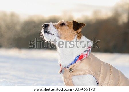 Obedient dog listening for an owner. Portrait of Jack Russell Terrier pet on cold air