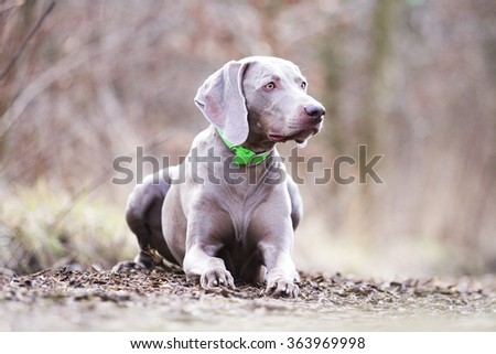 obedient, happy, beautiful, healthy and young weimaraner dog or puppy patiently lying alone on a dirt road, hunting, winter nature - stock photo