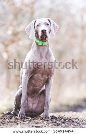 obedient, happy, beautiful, healthy and young weimaraner dog or puppy patiently sitting alone on a dirt road, hunting, winter nature - stock photo