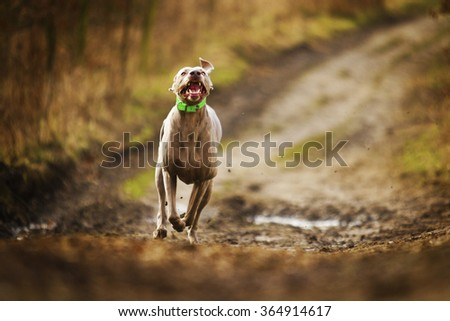 obedient, happy, beautiful, healthy and young weimaraner dog or puppy quickly runs along a dirt road in the forest, autumn nature, hunting