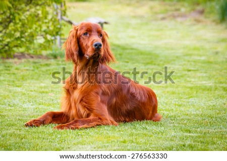Obedient nice irish setter laying and waiting - stock photo