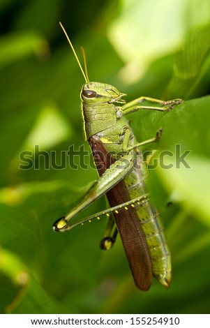 Obscure Bird Grasshopper on a leaf - stock photo