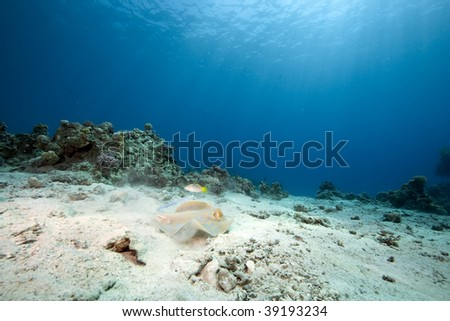 ocean and bluespotted stingray - stock photo