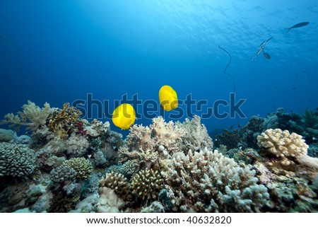 ocean and  butterflyfish - stock photo