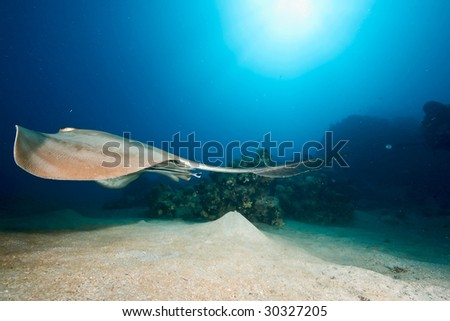 ocean, coral and  feathertail stingray - stock photo