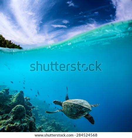 Ocean Life. Marine Animals. Seascape Maldivian Postcard. Underwater discovered.A Turtle floating under coral reef - stock photo