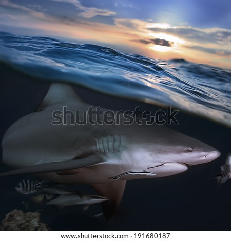 Ocean open water. Wild hungry shark hunting close sea surface
