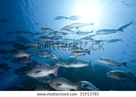 ocean, sun and twinspot snappers