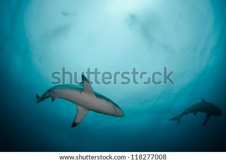 Oceanic Black-tip Sharks in the Indian Ocean  off Africa - stock photo