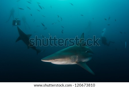 Oceanic Blacktip sharks and divers - stock photo