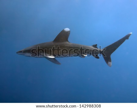 Oceanic whitetip shark - stock photo