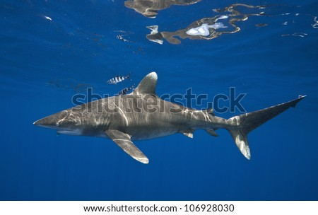 Oceanic Whitetip Shark Profile Blue Water