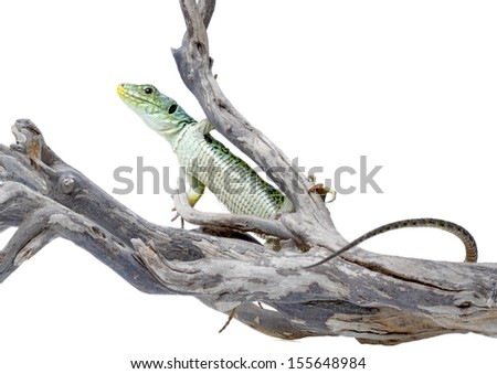 Ocellated lizard isolated on white background