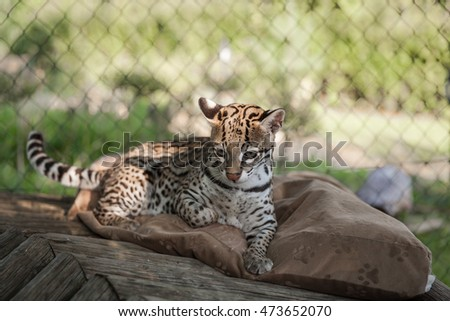 Ocelot enjoy a beautiful sunny day