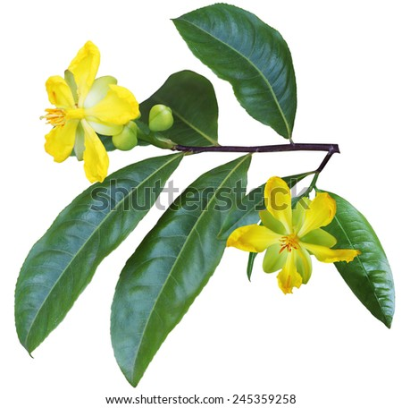 Ochna Integerrima  flower and leaf isolated on white background - stock photo