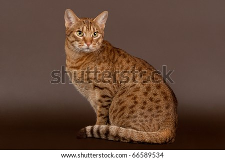 ocicat male cat on dark brown background - stock photo
