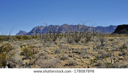 Ocotillo Tree in desert with mountain background - Big Bend National Park - stock photo