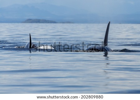 Ocra or killer whale in the ocean close - stock photo