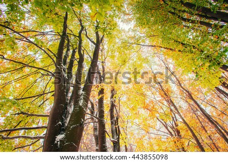 October mountain beech forest with first winter snow. Sunlight breaks through the autumn leaves of the trees in the early days of winter