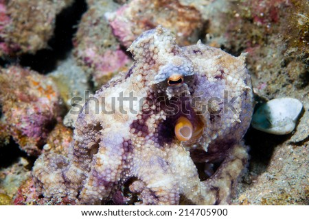 octopus faking as a stone - stock photo