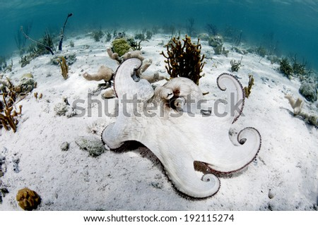 Octopus Flex - stock photo