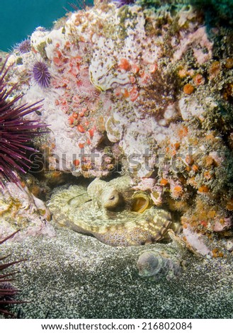 Octopus nestled under rock off Santa Barbara Island, CA - stock photo