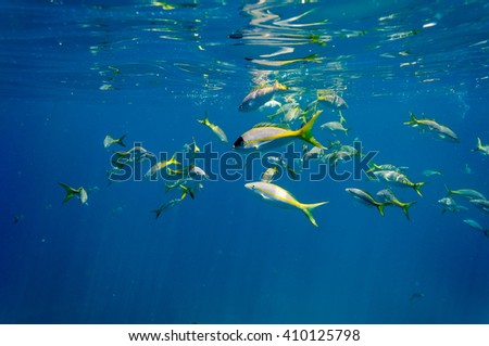 Ocyurus chrysurus: Shoal of Yellowtail Snappers underwater in the Florida Keys