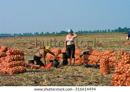 stock photo odessa ukraine august uidentified women manually harvest onions field