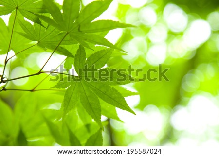 Of fresh green maple