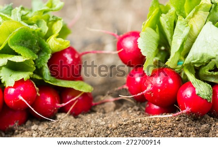 Of freshly picked organic garden radishes - stock photo