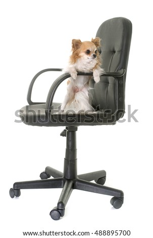 office chair and chihuahua in front of white background