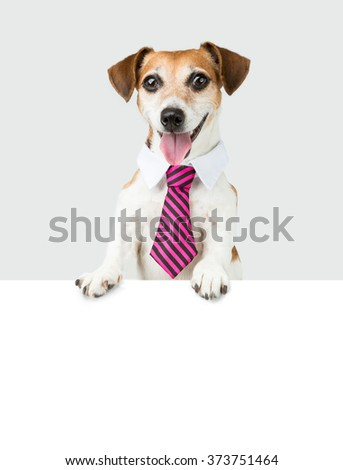 Office manager white collar employee. Dog Jack Russell terrier and white space for your text.   Grey monochrome background and white copyspace
