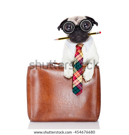 office worker businessman pug dog  as  boss and chef , with suitcase or bag  as a secretary, pencil in mouth wearing a suit and tie , isolated on white background