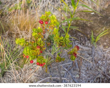 Ohelo berries (Vaccinium reticulatum) is a species of flowering plant in the heather family, Ericaceae, that is endemic to Hawaii. - stock photo