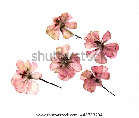 oil draw pink geranium perspective, dry paint delicate flowers and petals of pelargonium, isolated on white  - stock photo
